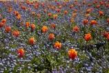 Ashburton;Ashburton-Domain;Ashburton-Gardens;bloom;blooming;blooms;blossom;blossoming;blossoms;Botanic-Garden;Botanic-Gardens;Botanical-Garden;Botanical-Gardens;Canterbury;flower;flowers;fresh;grow;growth;in-springtime;Mid-Canterbury;Mid_Canterbury;N.Z.;New-Zealand;NZ;S.I.;season;seasonal;seasons;SI;South-Is;South-Is.;South-Island;spring;springtime;Sth-Is;tulip;tulips