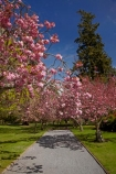 Ashburton;Ashburton-Domain;Ashburton-Gardens;avenue;avenues;bloom;blooming;blooms;blossom;blossoming;blossoms;Botanic-Garden;Botanic-Gardens;Botanical-Garden;Botanical-Gardens;Canterbury;Christchurch;footpath;footpaths;fresh;grow;growth;in-springtime;Mid-Canterbury;Mid_Canterbury;N.Z.;New-Zealand;NZ;path;paths;pathway;pink;pink-blossom;renew;S.I.;season;seasonal;seasons;SI;South-Is;South-Is.;South-Island;spring;springtime;Sth-Is