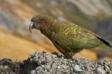 alpine;alpine-parrot;alpine-parrots;Animal;Animals;Aotearoa;bird;birds;Canterbury;fauna;indigenous;kea;keas;Mount-Hutt;Mt-Hutt;Mt.-Hutt;N.Z.;native;native-wildlife;nestor;nestor-notabilis;New-Zealand;New-Zealand-Alpine-Parrot;notabilis;NZ;ornithology;parrot;S.I.;SI;South-Is;South-Is.;South-Island;Sth-Is;Wild;Wildlife