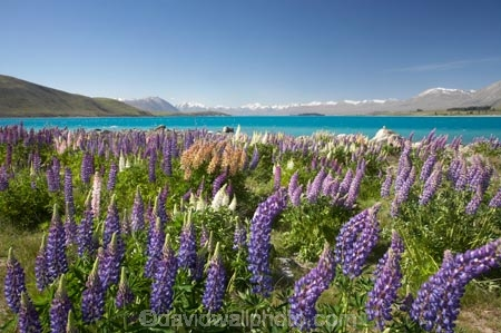 Canterbury;color;colors;colour;colours;fields;floral;flower;flowering;flowers;garden;gardens;Lake-Tekapo;lilac;lupin;lupine;lupines;lupins;lupinus;Mackenzie-Country;mauve;N.Z.;New-Zealand;NZ;purple;S.I.;SI;Sibbald-Range;South-Canterbury;South-Is.;South-Island;spring;springtime;summer;summertime;Tekapo;Two-Thumb-Range;violet;wild-flower;wild-flowers;wild-lupins;wild_flower;wild_flowers;wildflower;wildflowers