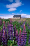 churches;color;colors;colour;colours;fields;flower;flowers;garden;gardens;lupin;lupins;mauve;purple;spring;springtime;Tasman-Saddle-Hut,-Aoraki-Mt-Cook-National-Park;violet;wild-flowers