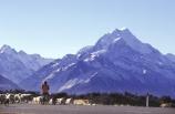 mountain;mountains;southern-alps;main-divide;snow;highest;peak;sheep;herd;muster;shepherd;lambs;lamb;alpine;rural;icon;wool;wooly