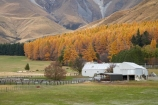 agricultural;agriculture;Aoraki-Mt-Cook;autuminal;autumn;autumn-colour;autumn-colours;autumnal;color;colors;colour;colours;country;countryside;deciduous;fall;farm;Farm-Building;Farm-Buildings;Farm-Shed;Farm-Sheds;farming;farmland;farms;field;fields;Glentanner-Station;Larch-Trees;larches;leaf;leaves;Mackenzie-Country;Mackenzie-District;meadow;meadows;N.Z.;New-Zealand;NZ;paddock;paddocks;pasture;pastures;rural;S.I;season;seasonal;seasons;Shearing-Shed;Shearing-Sheds;Sheep-Shed;Sheep-Sheds;SI;South-Canterbury;South-Is;South-Island;tree;trees;Wool-Shed;Wool-Sheds;woolshed;woolsheds