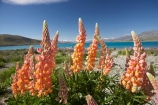 Canterbury;floral;flower;flowering;flowers;Lake-Tekapo;lupin;lupine;lupines;lupins;lupinus;Mackenzie-Country;N.Z.;New-Zealand;NZ;orange;S.I.;SI;South-Canterbury;South-Is.;South-Island;spring;springtime;summer;summertime;Tekapo;wild-flower;wild-flowers;wild-lupins;wild_flower;wild_flowers;wildflower;wildflowers