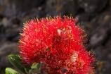 Bay-of-Plenty;crimson;flower;flowers;metrosideros-excelsa;Mount-Maunganui;Mt-Maunganui;Mt.-Maunganui;N.I.;N.Z.;New-Zealand;NI;North-Is;North-Is.;North-Island;NZ;plant;plants;pohutakawa;pohutakawas;pohutukawa;pohutukawa-flower;pohutukawa-flowers;pohutukawa-tree;pohutukawa-trees;pohutukawas;red;Tauranga;tree;trees