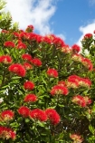 Bay-of-Plenty;crimson;flower;flowers;metrosideros-excelsa;Mount-Maunganui;Mt-Maunganui;Mt.-Maunganui;N.I.;N.Z.;New-Zealand;NI;North-Is;North-Is.;North-Island;NZ;plant;plants;pohutakawa;pohutakawas;pohutukawa;pohutukawa-flower;pohutukawa-flowers;pohutukawa-tree;pohutukawa-trees;pohutukawas;red;Tauranga;tree;trees