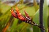 Bay-of-Plenty;flower;flowers;Mount-Maunganui;Mt-Maunganui;Mt.-Maunganui;N.I.;N.Z.;native;natural;nature;new-zealand;NI;North-Is;North-Is.;North-Island;NZ;orange;Phormium;plant;pod;pods;seed;seeds;Tauranga