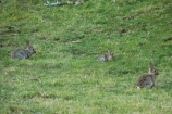 Bay-of-Plenty;Mount-Maunganui;Mt-Maunganui;Mt.-Maunganui;N.I.;N.Z.;New-Zealand;NI;North-Is;North-Is.;North-Island;NZ;pest;pests;rabbit;rabbits;Tauranga;vermin