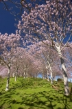 bloom;blooming;blooms;forest;forests;fresh;Golden-Bay;grow;growth;Lamiales;lilac;Magnoliophyta;Magnoliopsida;mauve;N.Z.;Nelson-Region;New-Zealand;NZ;Paulownia;Paulownia-Plantation;Paulownia-Tree;Paulownia-Trees;Paulowniaceae;Paulownias;plantation;plantations;purple;renew;S.I.;season;seasonal;seasons;SI;South-Is.;South-Island;spring;Spring-Flower;springtime;Takaka;tree;trees;violet