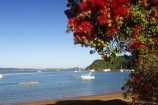 Bay-of-Islands;beach;beaches;boat;boats;crimson;flower;flowers;icon;icons;leaf;leaves;Metrosideros-excelsa;native;nature;new-zealand;north-is.;north-island;Northland;Paihia;Pohutukawa;pohutukawas;red;russell;shore;shoreline;summer;symbol;symbols;tree;trees;yacht;yachts