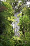 ancient;big;biggest;black-tree-fern;botany;bush;enormous;fern;ferns;flora;foiliage;forest;forests;giant;gigantic;huge;kauri;kauri-tree;kauri-trees;kauris;large;largest;mamaku;native;native-bush;native-forest;new-zealand;north-is.;north-island;Northland;old;ponga;punga;Tane-Mahuta;timber;tree;trees;very-old;Waipoua-Forest;waipoua-kauri-forest;wood