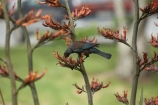 beak;bird;bird-watching;birds;birdwatching;bloom;blooming;blooms;branch;feathers;flax;flax-bush;flax-bushes;flax-flower;flax-flowers;flax-seed-head;flax-seeds;flower;flowers;icon;icons;N.I.;N.Z.;native;nature;nectar-feeder;New-Zealand;New-Zealand-flax;NI;North-Is;North-Is.;North-Island;Northland;NZ;ornithological;ornithology;orthnological;orthnology;phormium;Phormium-tenax;Prosthemadera-novaeseelandiae;tui;tuis