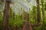 beautiful;beauty;boardwalk;boardwalks;bush;cyathea;cyathea-dealbata;cyatheaceae;emblem;endemic;fern;ferns;forest;forest-reserve;forests;frond;fronds;green;grey;hiking-track;hiking-tracks;icon;icons;Kauri-Coast;kauri-forest;kauri-forests;Kauri-Tree;Kauri-Trees;lush;N.I.;N.Z.;native;native-bush;natives;natural;nature;New-Zealand;NI;North-Is;North-Is.;North-Island;Northland;NZ;plant;plants;ponga;pongas;punga;pungas;rain-forest;rain-forests;rain_forest;rain_forests;rainforest;rainforests;scene;scenic;silver;silver-fern;symbol;symbols;timber;track;tracks;tree;tree-fern;tree-ferns;tree-trunk;tree-trunks;trees;Trounson-Kauri-forest;Trounson-Kauri-Park;Trounson-Park;trunk;trunks;walking-track;walking-tracks;white;wood;woods