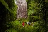 2000-year-old-kauri-tree;beautiful;beauty;bg-kauri;bg-kauris;big-tree;big-trees;bush;endemic;forest;forests;giant-2000-year-old-kauri-tree;giant-kauri;giant-kauris;giant-tree;giant-trees;green;kauri;Kauri-Coast;kauri-forest;kauri-forests;kauri-tree;kauri-trees;kauris;Lord-of-the-Forest;lush;N.I.;N.Z.;native;native-bush;natives;natural;nature;New-Zealand;NI;North-Is;North-Is.;North-Island;Northland;NZ;people;person;rain;rain-forest;rain-forests;rain_forest;rain_forests;rainforest;rainforests;raining;rainy;scene;scenic;Tane-Mahuta;Tane-Mahuta-Kauri-Tree;timber;tourism;tourist;tourists;tree;tree-trunk;tree-trunks;trees;trunk;trunks;umbrella;umbrellas;Waipoua;Waipoua-Forest;Waipoua-Kauri-forest;wood;woods