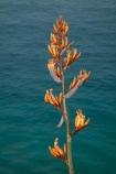 Cape-Reinga;Far-North;flax;flax-bush;flax-bushes;flax-flower;flax-flowers;flax-seed-head;flax-seeds;flower;flowers;N.I.;N.Z.;native;native-plant;New-Zealand;New-Zealand-flax;NI;North-Is;North-Is.;North-Island;Northland;NZ;phormium;Phormium-tenax