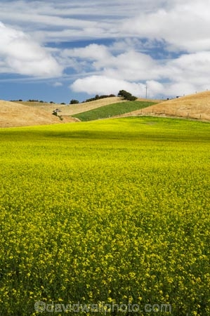 agricultural;agriculture;canola;canola-field;canola-fields;country;countryside;crop;crops;East-Otago;farm;farming;farmland;farms;field;fields;flowering;horticulture;meadow;meadows;N.Z.;New-Zealand;North-Otago;NZ;Otago;paddock;paddocks;Palmerston;pasture;pastures;plant;plants;rapeseed;Rapeseed-Field;rapeseed-fields;rural;S.I.;SI;South-Is.;South-Island;summer;Waikouaiti;yellow