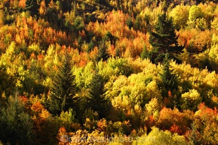 arrowtown;Autumn;bright;brilliant;central-otago;color;colour;conifer;conifers;fall;gold;golden;green;New-Zealand;orange;orange-mountain-ash;pine;pines;poplar;poplars;season;seasonal;seasons;sorbus-rowan;South-Island;tobins-track;tree;trees;yellow