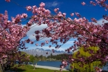 bloom;blooms;blooning;floral;flower;flowers;Lake-Wakatipu;N.Z.;New-Zealand;NZ;Otago;pink-blossom;public-garden;public-gardens;Queenstown;S.I.;season;seasonal;seasons;SI;South-Is;South-Island;Southern-Lakes;Southern-Lakes-District;spring;Spring-blossom;spring-time;spring_time;springtime;Sth-Is;The-Remarkables