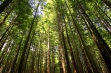 bay-of-plenty;beautiful;beauty;bush;conifer;conifers;forest;forests;New-Zealand;north-is.;north-island;peaceful;redwood;redwoods;rotorua;scene;scenic;serene;timber;tree;tree-trunk;tree-trunks;trees;trunk;trunks;wood;woods