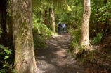 beautiful;beauty;bush;endemic;forest;forests;green;Lake-Tarawera-Scenic-Reserve;N.I.;N.Z.;native;native-bush;natives;natural;nature;New-Zealand;NI;North-Is;North-Island;NZ;scene;scenic;timber;tree;tree-trunk;tree-trunks;trees;trunk;trunks;wood;woods