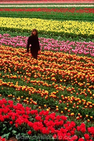 van-eden;van-eeden;flower;flowers;tulip;tulips;garden;gardens;colour;colours;color;colors;red;orange;pink;yellow;person;field;fields;farm;farms;horticulture;rural;floral;bulb;bulbs;farming;cultivate;cultivation;grow;growing