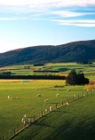 spring;grass;green;sheep;lamb;lambs;farm;farms;farming;paddock;paddocks;field;fields;pasture;pastures;meadow;meadows;agriculture;rural;plain;plains;verdant;lush;fence;fences;fenceline