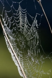 close_up;Dew;dew-;dew-s;moisture;N.I.;N.Z.;nature;New-Zealand;NI;North-Island;NZ;spider-web;spider-webs;Wanganui;Wanganui-Region;web;webs