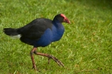 Porphyrio-porphyrio;Animal;animals;avian;bird;bird-spotting;bird-watching;bird_watching;birds;eco-tourism;eco_tourism;ecotourism;Fauna;N.Z.;Natural;Nature;New-Zealand;North-Is;North-Island;Nth-Is;NZ;Ornithology;pukeko;pukekos;purple-swamphen;Waikato;wild;wildlife