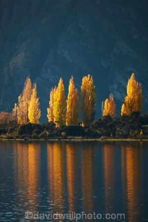 autuminal;autumn;autumn-colour;autumn-colours;autumnal;Bremner-Bay;calm;Central-Otago;color;colors;colour;colours;deciduous;fall;gold;golden;lake;Lake-Wanaka;lakes;leaf;leaves;N.Z.;New-Zealand;NZ;Otago;placid;poplar;poplar-tree;poplar-trees;poplars;quiet;reflected;reflection;reflections;S.I.;season;seasonal;seasons;serene;SI;smooth;South-Is.;South-Island;Southern-Lakes;Southern-Lakes-District;Southern-Lakes-Region;Sth-Is;still;tranquil;tree;trees;Wanaka;water;yellow