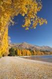autuminal;autumn;autumn-colour;autumn-colours;autumnal;Central-Otago;color;colors;colour;colours;deciduous;fall;golden;lake;Lake-Wanaka;lakes;leaf;leaves;Mount-Alpha;Mt-Alpha;Mt.-Alpha;N.Z.;New-Zealand;NZ;Otago;poplar;poplar-tree;poplar-trees;poplars;S.I.;season;seasonal;seasons;SI;South-Is.;South-Island;Southern-Lakes;Southern-Lakes-District;Southern-Lakes-Region;tree;trees;Wanaka;yellow