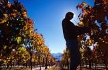 agricultural;agriculture;crop;crops;cultivation;food;fruit;fruits;grape;grapes;grapevine;harvest;harvester;harvesting;horticulture;hot;pick;picker;picking;ripe;row;rows;season;seasonal;seasons;summer;summertime;summery;vine;vines;vineyard;vineyards;vintage;warm;wine;wineries;winery;wines;worker;working