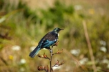 bird;bird-watching;birds;birdwatching;bloom;blooming;blooms;branch;feathers;flax;flax-bush;flax-bushes;flax-flower;flax-flowers;flax-seed-head;flax-seeds;flower;flowers;icon;icons;N.I.;N.Z.;native;nature;nectar-feeder;New-Zealand;New-Zealand-flax;NI;North-Is;North-Is.;North-Island;Nth-Is;NZ;ornithological;ornithology;orthnological;orthnology;phormium;Phormium-tenax;Prosthemadera-novaeseelandiae;Te-Ahumairangi-Hill;Tinakori-Hill;tui;tuis;Wellington