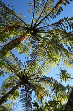 black-tree-fern;black-tree-ferns;Buller-District;Buller-Region;cyathea;fern;ferns;frond;fronds;Mamaku;Mamakus;N.Z.;New-Zealand;NZ;Paparoa-N.P.;Paparoa-National-Park;Paparoa-NP;plant;plants;ponga;pongas;Pororari-River-Gorge;Punakaiki;punga;pungas;S.I.;SI;South-Is;South-Island;tree-fern;tree-ferns;West-Coast;Westland