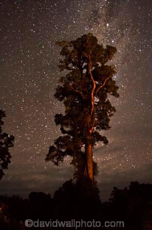 astronomy;beautiful;beauty;bush;constelation;constelations;Dacrycarpus-dacrydioides;endemic;ervening;evening;forest;forests;green;heritage-area;indigenous;kahikatea;kahikatea-tree;kahikatea-trees;N.Z.;native;native-bush;natives;natural;nature;New-Zealand;night;night-sky;night-time;night_sky;night_time;nightsky;NZ;planet;planets;rain-forest;rain-forests;rain_forest;rain_forests;rainforest;rainforests;S.I.;scene;scenic;SI;skies;sky;South-Island;space;star;stars;tall;te-wahi-pounamu;te-wahipounamu;te-wahipounamu-south_west-new-zealand-world-heritage-area;timber;tree;tree-trunk;tree-trunks;trees;trunk;trunks;West-Coast;Westland;white-pine;white-pines;wood;woods;world-heirtage-site;world-heirtage-sites;world-heritage-area;world-heritage-areas
