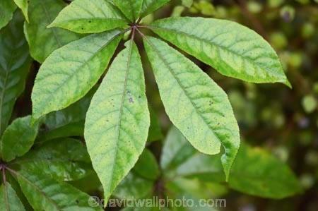 five fingers plant picture