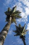 endemic;N.Z.;national-park;national-parks;native;native-plant;native-plants;natives;natural;nature;New-Zealand;nikau;nikau-palm;nikau-palms;nikaus;NZ;palm;palm-tree;palm-trees;palms;Paparoa-N.P.;Paparoa-National-Park;Paparoa-NP;plant;plants;Punakaiki;Rhopalostylis-sapida;S.I.;SI;South-Island;West-Coast;Westland