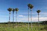 6;endemic;N.Z.;native;native-plant;native-plants;natives;natural;nature;New-Zealand;nikau;nikau-palm;nikau-palms;nikaus;NZ;palm;palm-tree;palm-trees;palms;plant;plants;Punakaiki;Rhopalostylis-sapida;S.I.;SI;six;South-Island;West-Coast;Westland