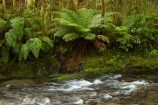 brook;brooks;bush;creek;creeks;fern;ferns;forest;forests;Haast-Pass;Mount-Aspiring-National-Park;Mt-Aspiring-N.P.;Mt-Aspiring-National-Park;Mt-Aspiring-NP;Muir-Creek;N.Z.;national-park;national-parks;native-bush;native-forest;native-forests;native-tree;native-trees;native-woods;natural;nature;New-Zealand;NZ;Pleasant-Flat;Pleasant-Flat-Bush-Walk;Pleasant-Flat-track;river;rivers;S.I.;SI;South-Is;South-Island;Sth-Is;stream;streams;tree;trees;water;West-Coast;Westland;wood;woods