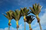 endemic;N.Z.;national-park;national-parks;native;native-plant;native-plants;natives;natural;nature;New-Zealand;nikau;nikau-palm;nikau-palms;nikaus;NZ;palm;palm-tree;palm-trees;palms;Paparoa-N.P.;Paparoa-National-Park;Paparoa-NP;plant;plants;Punakaiki;Rhopalostylis-sapida;S.I.;SI;South-Is;South-Island;Sth-Is;tree;trees;West-Coast;Westland