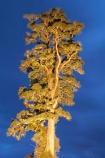 beautiful;beauty;bush;Dacrycarpus-dacrydioides;dusk;endemic;ervening;evening;floodlight;floodlighting;floodlights;floodlit;forest;forests;green;heritage-area;indigenous;kahikatea;kahikatea-tree;kahikatea-trees;light;lights;lit;N.Z.;native;native-bush;natives;natural;nature;New-Zealand;night;night-time;night_time;NZ;rain-forest;rain-forests;rain_forest;rain_forests;rainforest;rainforests;S.I.;scene;scenic;SI;South-Island;spotlight;tall;te-wahi-pounamu;te-wahipounamu;te-wahipounamu-south_west-new-zealand-world-heritage-area;timber;tree;tree-trunk;tree-trunks;trees;trunk;trunks;twilight;West-Coast;Westland;white-pine;white-pines;wood;woods;world-heirtage-site;world-heirtage-sites;world-heritage-area;world-heritage-areas