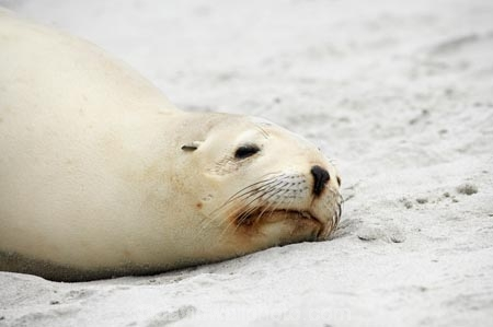 animal;animals;beach;beaches;coast;coastal;dunedin;hooker-sealion;hookers;hookers-sea-lion;mammal;mammals;marine;N.Z.;native;native-wildlife;natural-history;nature;new-zealand;New-Zealand-NZ;nz;Otago;Phocarctos-hookeri;S.I.;Saint-Clair-Beach;sand;sea-lion;sea-lions;seal;sealion;sealions;seals;SI;South-Is;South-island;St-Clair-Beach;St.-Clair-Beach;wildife;wildlife