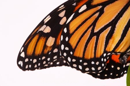 animal;animals;Asclepias;close_up;closeup;Danaus-plexippus;insect;insects;invertebrate;life-cycle;life_cycle;lifecycle;macro;metamorphosis;Monarch-Butterflies;Monarch-Butterfly;orange