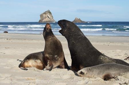 animal;animals;beach;beaches;bull;bulls;coast;coastal;coastline;Dunedin;Gull-Rocks;Hookers-Sea-Lion;Hookers-Sea-Lions;Hookers-Sea-Lion;Hookers-Sea-Lions;Lion-Rock;Lions-Head-Rock;male;mammal;mammals;marine-mammal;marine-mammals;N.Z.;New-Zealand;New-Zealand-Sea-Lion;New-Zealand-Sea-Lions;NZ;Otago;Otago-Peninsula;Phocarctos-hookeri;S.I.;sand;Sandfly-Bay;sandy;sea-lion;sea-lion-calf;sea-lion-calfs;sea-lion-cub;sea-lion-cubs;sea-lion-pup;sea-lion-pups;sea-lions;shore;shoreline;SI;South-Is.;South-Island;wildlife