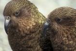 bird;birds;wildlife;native;feather;feathers;beak;beaks;nestor-notabilis;kea;keas;mountain-parrot;mountain-parrots;parrot;parrots;alpine-parrot;alpine-parrots;two;together;togetherness;friend;friends;friendship;beak;beaks;bill;bills