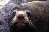 marine;mammal;new-zealand;native;wildlife;natural-history;otago-peninsula;seals;natural;nature;mammals;Arctocephalus-forsteri