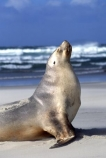 wildife;marine;mammal;nature;native;natural-history;otago-peninsula;mammals;Phocarctos-hookeri;seal;seals;dunedin;new-zealand;nz;yawn;laugh;mouth;teeth;sand;beach;beaches;sea-lion;sea-lions;sealion;sealions;hookers-sea-lion;hookers;hooker-sealion