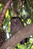 native;owl;new-zealand;night;bird;birds;owls;razor-sharp-hooked-beak;beak;beaks;hooked;flight;fly;hunt;hunter;hunting;plumage;silent;eyes;maori-mythology;Hine_ruru;owl-woman;owl-guardians;protect;piercing-call;small;little;ornithological;ornithology