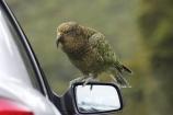 beak;beaks;bird;birds;feather;feathers;native;nestor-notabilis;wildlife;Animal;Animals;fauna;natives;natural;Nature;New-Zealand;Ornithology;South-Island;Wild;Kea;New-Zealand-Alpine-Parrot;parrot;parrots;keas;alpine-parrot;alpine-parrots;cheeky;indigenous;car;cars;vandalise;vandal;damage;mirror;mirrors