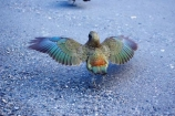 adolescent;alpine-parrot;alpine-parrots;Animal;Animals;beak;beaks;bird;birds;cheeky;fauna;feather;feathers;Franz-Josef-Glacier;indigenous;juvenile;Kea;keas;native;natives;natural;Nature;nestor-notabilis;New-Zealand;New-Zealand-Alpine-Parrot;orange-feathers;Ornithology;parrot;parrots;South-Island;South-West-New-Zealand-World-He;southern-alps;Te-Poutini-National-Park;Te-Wahipounamu;West-Coast;westland;Westland-National-Park;Wild;wildlife