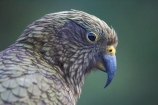 adolescent;alpine-parrot;alpine-parrots;Animal;Animals;beak;beaks;bird;birds;cheeky;fauna;feather;feathers;Franz-Josef-Glacier;indigenous;juvenile;Kea;keas;native;natives;natural;Nature;nestor-notabilis;New-Zealand;New-Zealand-Alpine-Parrot;Ornithology;parrot;parrots;South-Island;South-West-New-Zealand-World-He;southern-alps;Te-Poutini-National-Park;Te-Wahipounamu;West-Coast;westland;Westland-National-Park;Wild;wildlife